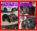 2 Chocolate males available