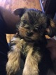 Morkie Puppy For Sale in NEWARK, NJ, USA