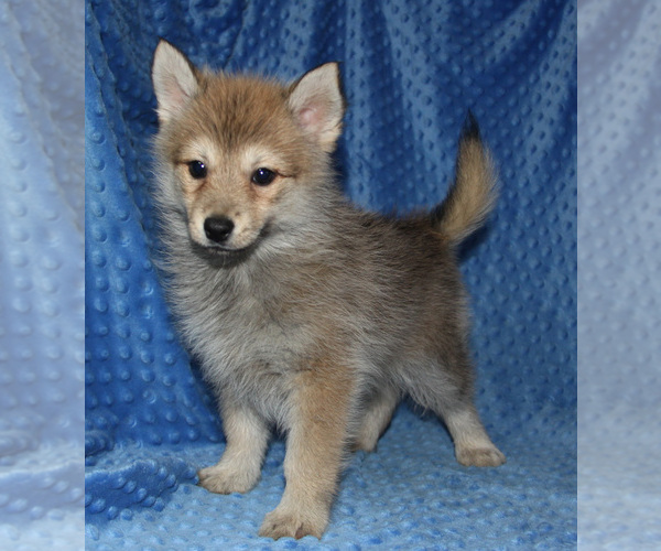 Medium Photo #1 Pomsky Puppy For Sale in DENTON, TX, USA