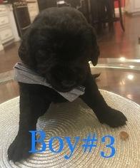 Labradoodle Puppy For Sale in CULLMAN, AL, USA