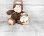 Teddy Bear Puppy Declan