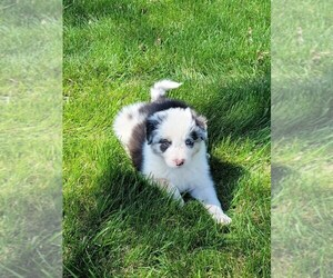 Border Collie Puppy for Sale in BRAYTON, Iowa USA