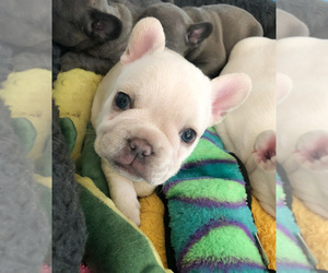 French Bulldog Puppy for Sale in HESPERIA, California USA