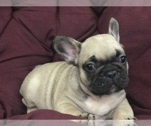 French Bulldog Puppy for sale in MILLVILLE, MA, USA