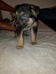German Shepherd Dog Puppy For Sale in WARREN, MA