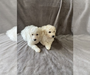 Pyredoodle Puppy for sale in DRY RIDGE, KY, USA
