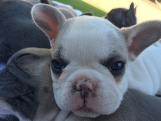 French Bulldog Puppy For Sale in ONTARIO, CA