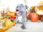 Faux Frenchbo Bulldog Puppy For Sale in STRASBURG, OH, USA