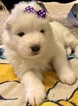 Samoyed Puppy For Sale in KEARNEY, MO, USA