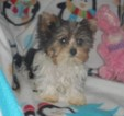 Yorkshire Terrier Puppy For Sale in HARTVILLE, Missouri,