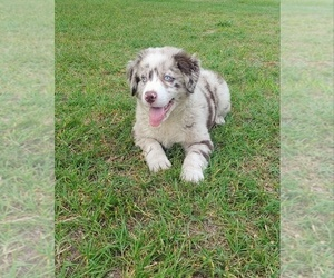 Australian Shepherd Puppy for sale in PIKEVILLE, NC, USA