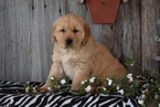 Golden Retriever Puppy For Sale in FREDERICKSBURG, OH, USA