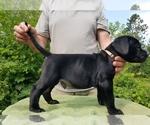 Puppy 11 Presa Canario
