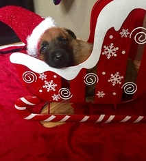 Belgian Malinois Puppy For Sale in EVANS, CO