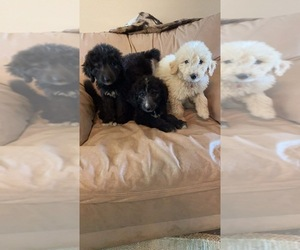 Pyredoodle Puppy for sale in PRYOR, OK, USA