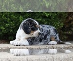 Small #3 Australian Shepherd-Beagle Mix