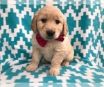 Ally the AKC Golden Retriever