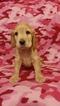 English Cocker Spaniel Puppy For Sale in WOOD RIDGE, NJ