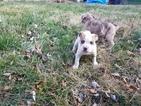 Catahoula Bulldog Puppy For Sale in NEW CASTLE, DE