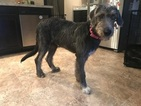 Irish Wolfhound Puppy For Sale in LOUISVILLE, KY, USA