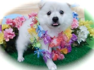 American Eskimo Dog Puppy For Sale in HAMMOND, IN