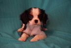 Cavalier King Charles Spaniel Puppy For Sale in FREDERICKSBURG, Ohio,
