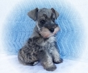 Akc Purebred Mini Toy Schnauzer Salt and Pepper
