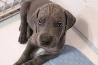 View Ad: Great Dane Puppy for Sale, West Virginia, BECKLEY