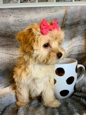 Maltipoo Puppy For Sale in VANCOUVER, WA, USA