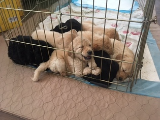 Goldendoodle Puppy For Sale in MERINO, CO, USA