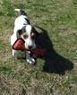 Basset Hound Puppy For Sale in HOLLY POND, AL