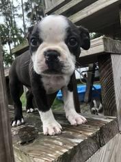 Boston Terrier Puppy For Sale in PALM COAST, FL, USA