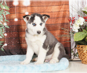 Siberian Husky Puppy for sale in PENNS CREEK, PA, USA