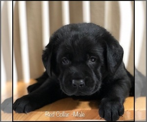 Labrador Retriever Dog for Adoption in MURRIETA, California USA