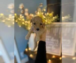 Goldendoodle Puppy for Sale in ZEBULON, North Carolina USA