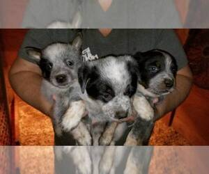 Australian Cattle Dog Puppy for sale in HOLLAND, TX, USA