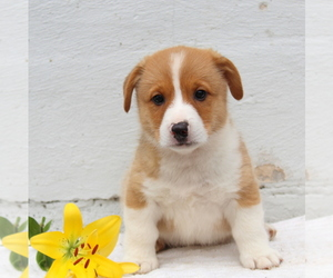 Pembroke Welsh Corgi Dog for Adoption in MORGANTOWN, Pennsylvania USA