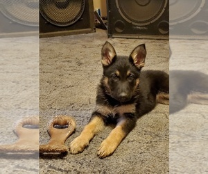 German Shepherd Dog Puppy for sale in CLOVERDALE, IN, USA