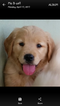 Golden Retriever Puppy For Sale in HONEA PATH, SC,