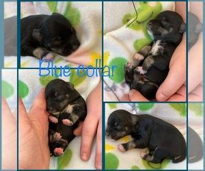 Schnauzer (Miniature) Puppy for sale in BUCKLEY, WA, USA