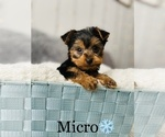 Small #16 Yorkshire Terrier