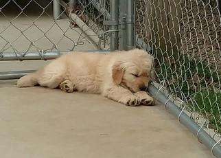 Akc golden retriever puppies north carolina