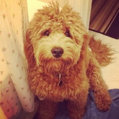 Goldendoodle Puppy for sale in LAND O LAKES, FL, USA