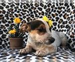 Small #4 Australian Cattle Dog-Jack Russell Terrier Mix