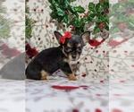 Small #1 Chihuahua
