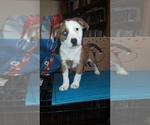 Puppy 2 Australian Shepherd-Beagle Mix
