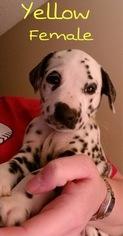 Dalmatian Puppy For Sale in BURKBURNETT, TX, USA