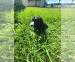 Puppy 2 Aussiedoodle-Poodle (Standard) Mix