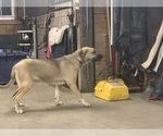 Small #8 Great Dane-Labrador Retriever Mix