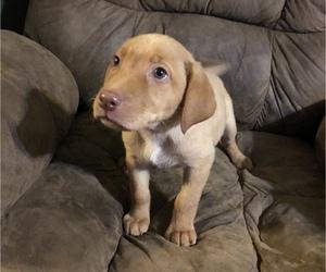 Labrador Retriever Puppy for sale in OVID, MI, USA